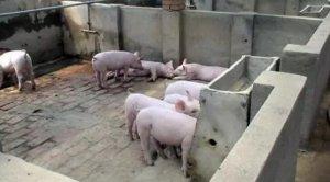 检查清单:仔猪断奶后饲喂方法是否科学之过渡料的饲喂方法
