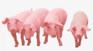 养猪省料的6个秘籍,你知道几个?