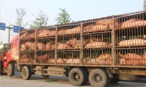 猪价涨势放缓,节前猪价如何走?