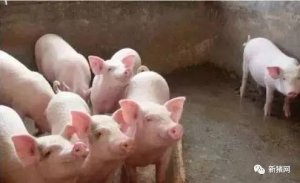 多地区猪价滞涨回落 利好因素减弱或小跌