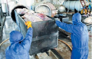 文登树立绿色发展理念 17年无害化处理生猪10万多头