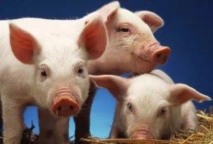 2018年或将是养猪人的灾年?养猪人从三个方向看后市!