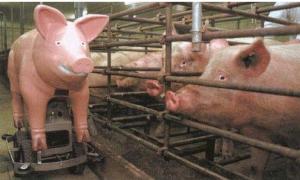 没有公猪的农村家庭猪场,用这个设备可以