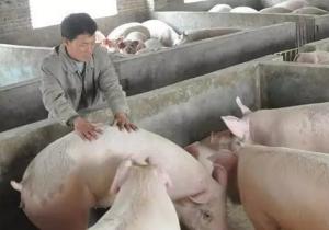 本周猪价在持续上涨几天后周末现调整迹象,生猪出栏均价继续回落 跌幅较大!