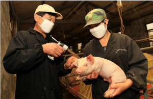 仔猪白痢的防治方案,值得农村的养猪户们收藏!