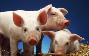 猪的生长速度与饲料有关吗?该如何判断和