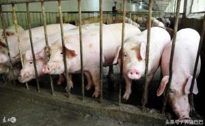 猪转栏排粪地点总是让人烦心,试试这几个