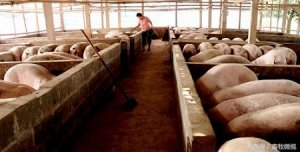 甘肃:镇原生猪托养开启创业新模式