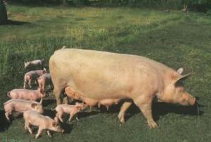 母猪从断奶到配种,这些您可能都知道,但未必都做好