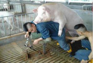 选择种猪的三个误区,你以为的都是错的!