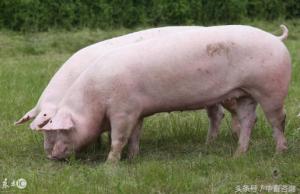 后备母猪相较于育肥猪只的营养特点?