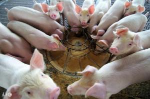 猪价失守15关口 短期