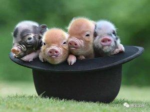 适当补栏仔猪,一头猪