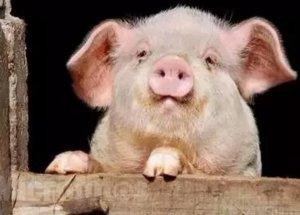 生猪出栏均价略上涨