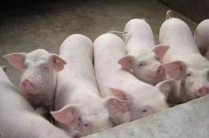 一头猪的一生要吃多少