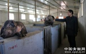 """浙江青田:猪倌的""""猪宝盆""""--""""野宝土猪"""
