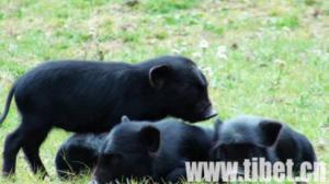 专家聚京探讨西藏藏猪产业开发新模式