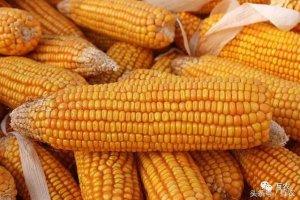 玉米市场价格趋强,玉米库存历史新高,农