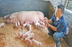 黄建平:仔猪活力提升――接产五部曲