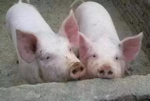 猪价没有大幅下跌的基