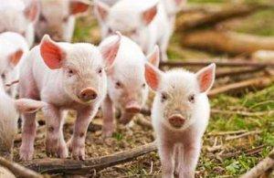 世界养猪业VS中国养猪