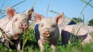 小猪总生病找不到原因?养殖户缺少的4点