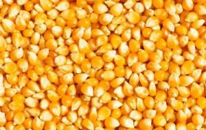 玉米价格再度涨价!春节前玉米价格是涨是跌?玉米价格整体趋跌!