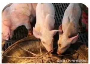 针对目前规模化猪场一些影响PSY与MSY因素的剖析系列之二