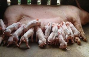 母猪断奶前后,需要减料?