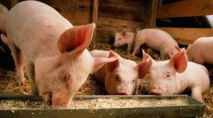 初生仔猪不吃食,教你五招解决的办法