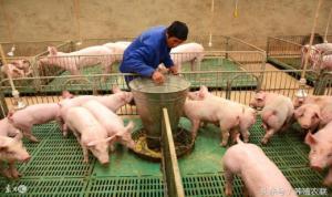 教槽料评定五原则,猪饲料入门手册