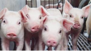 大北农:启动四川筠连五十万头生猪养殖项