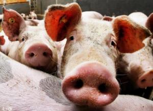 照这个方法养猪,口蹄疫、腹泻、蓝耳、呼