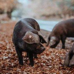 养猪也是高危职业,猪的攻击力有多强你知