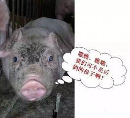 自繁自养猪场,这些小细节,不能忽视