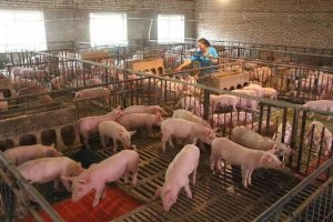 几个灯泡竟能让母猪多产子 必须重视猪场光源建设