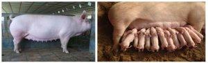 两清除一提高技术在提升母猪健康度上的应用