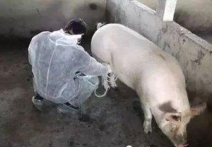对于空怀期的母猪饲养