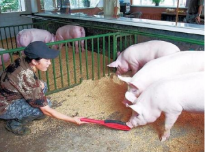 猪饲料中氨基酸含量减少,体重增长将变慢