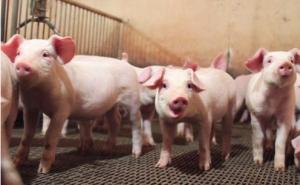 年前猪价连续下跌,到底是为什么?