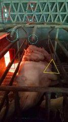 这些小猪只是趴在妈妈肚子上睡觉那么简单吗?