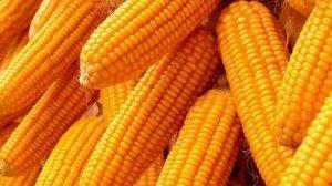 """未来玉米市场""""机遇""""大于""""挑战"""""""