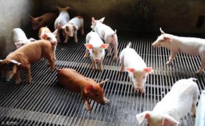 非接触式发酵床养猪是否比接触式发酵床养