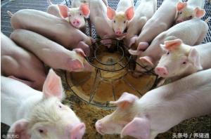 为什么说初生仔猪只能吃奶而不能