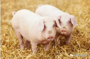 什么是育肥猪?育肥猪