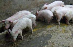 一线声音:冬季产房仔猪腹泻类疾病综合防