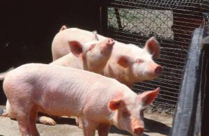 本溪县节前严把生猪产
