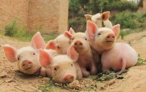 猪维生素A缺乏原来这么严重!教你两步轻松搞定!
