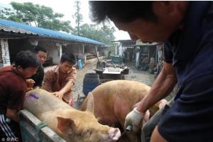养猪人点评最近猪价暴跌,慢涨快跌是下降周期生猪走势之特点!