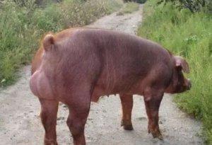 选择种公猪到底是不是越壮越好?